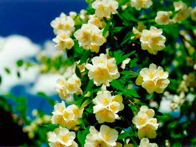 Красивые и удивительные фотографии цветов Жасмин - подборка 6