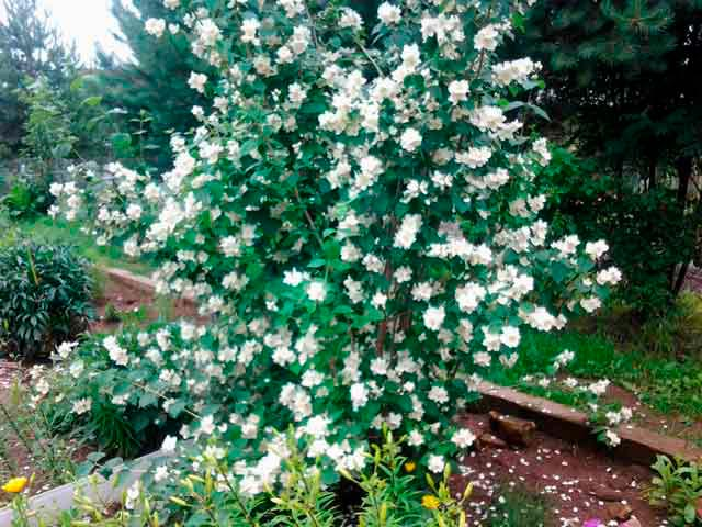 Красивые и удивительные фотографии цветов Жасмин - подборка 7
