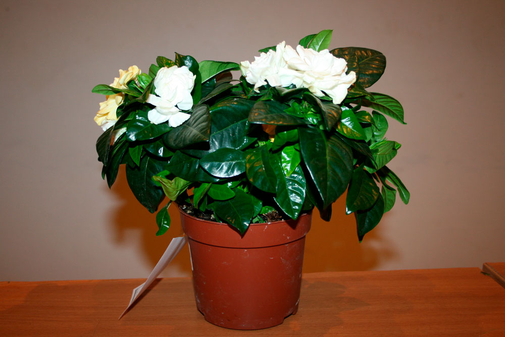 Красивые и удивительные фотографии цветов Жасмин - подборка 12