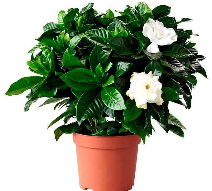 Красивые и удивительные фотографии цветов Жасмин - подборка 9