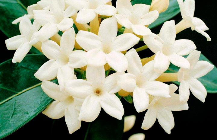 Красивые и удивительные фотографии цветов Жасмин - подборка 14