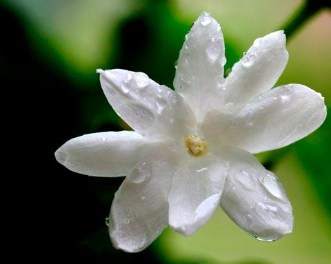 Красивые и удивительные фотографии цветов Жасмин - подборка 16