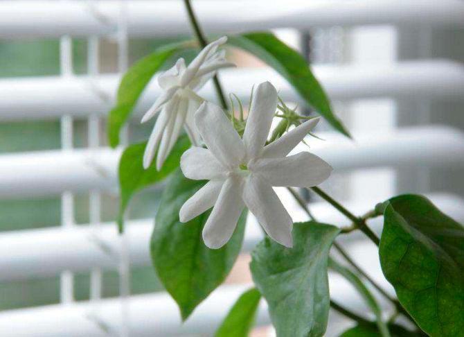 Красивые и удивительные фотографии цветов Жасмин - подборка 10