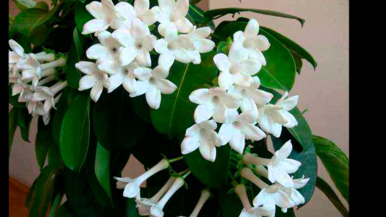 Красивые и удивительные фотографии цветов Жасмин - подборка 11