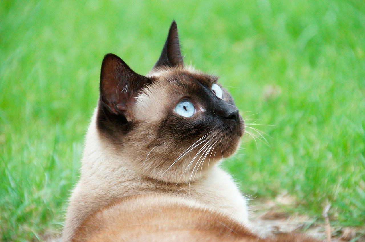 Красивые сиамские котята картинки - подборка изображений 14