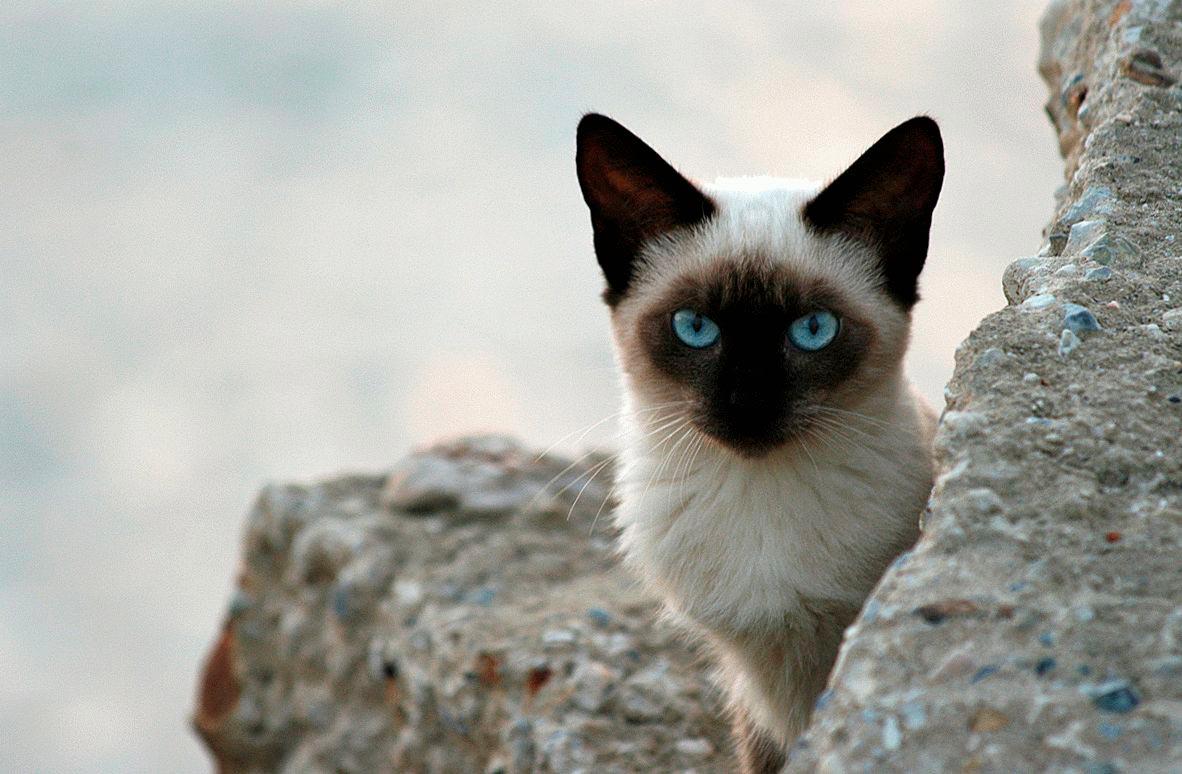 Красивые сиамские котята картинки - подборка изображений 15