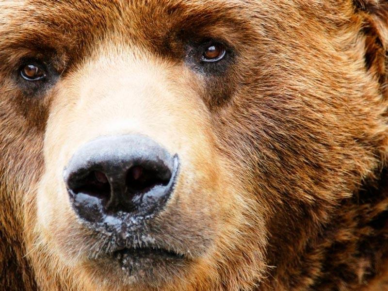 Красивые картинки, фотографии Медведя Гризли - подборка 1