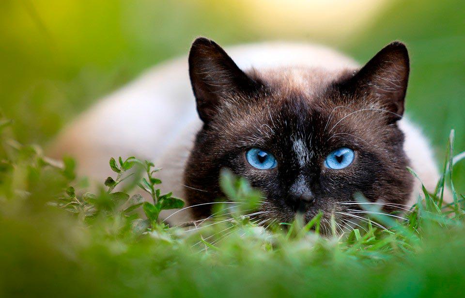Красивые сиамские котята картинки - подборка изображений 1