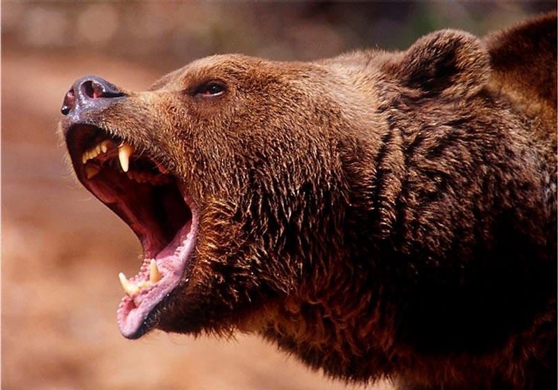 Красивые картинки, фотографии Медведя Гризли - подборка 7