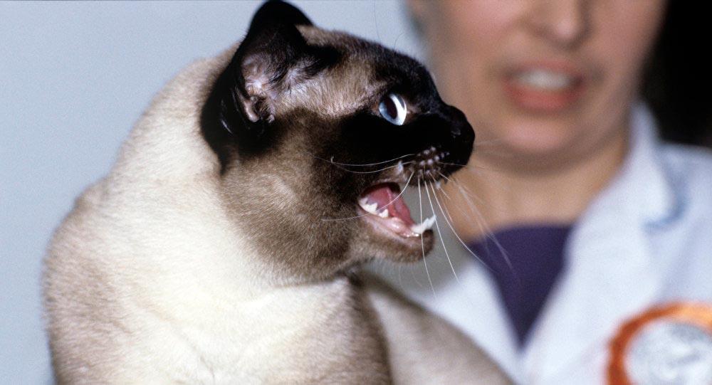 Красивые сиамские котята картинки - подборка изображений 2