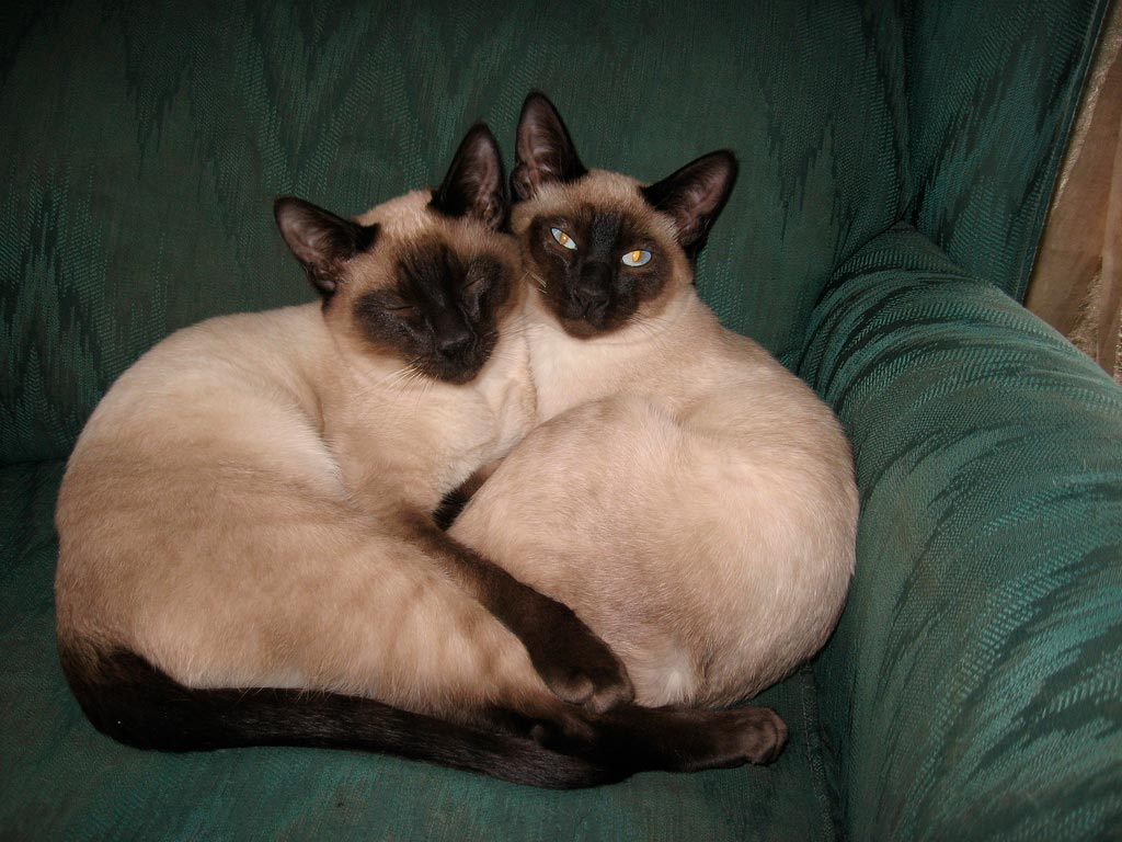 Красивые сиамские котята картинки - подборка изображений 3
