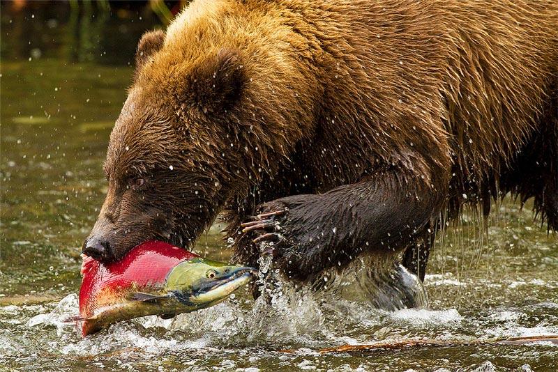 Красивые картинки, фотографии Медведя Гризли - подборка 8