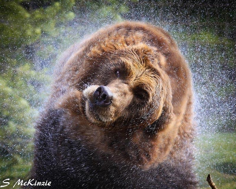 Красивые картинки, фотографии Медведя Гризли - подборка 9