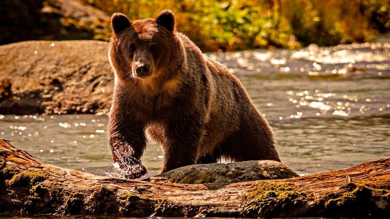 Красивые картинки, фотографии Медведя Гризли - подборка 2