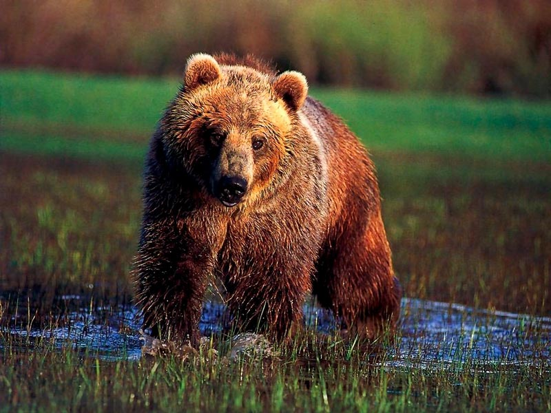 Красивые картинки, фотографии Медведя Гризли - подборка 5