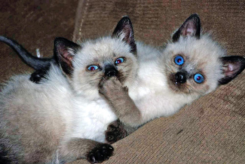 Красивые сиамские котята картинки - подборка изображений 6