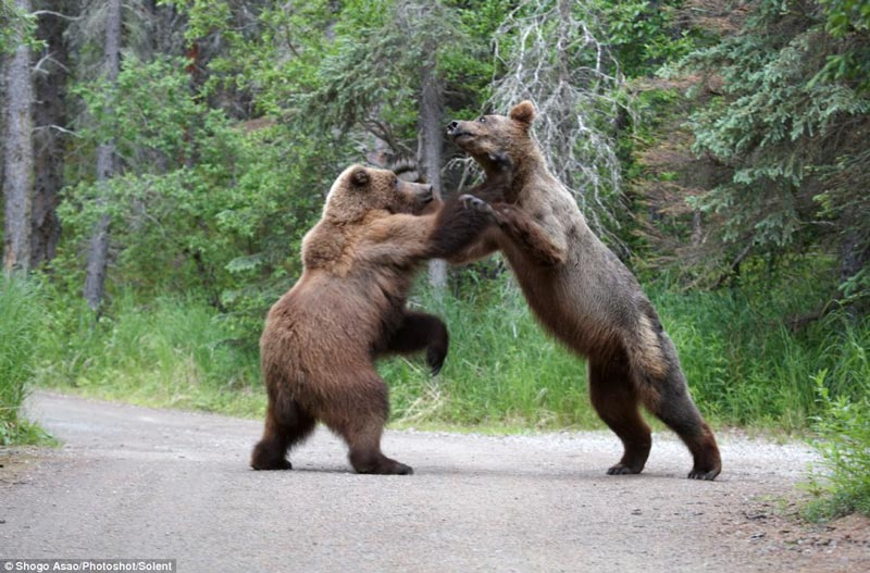 Красивые картинки, фотографии Медведя Гризли - подборка 11