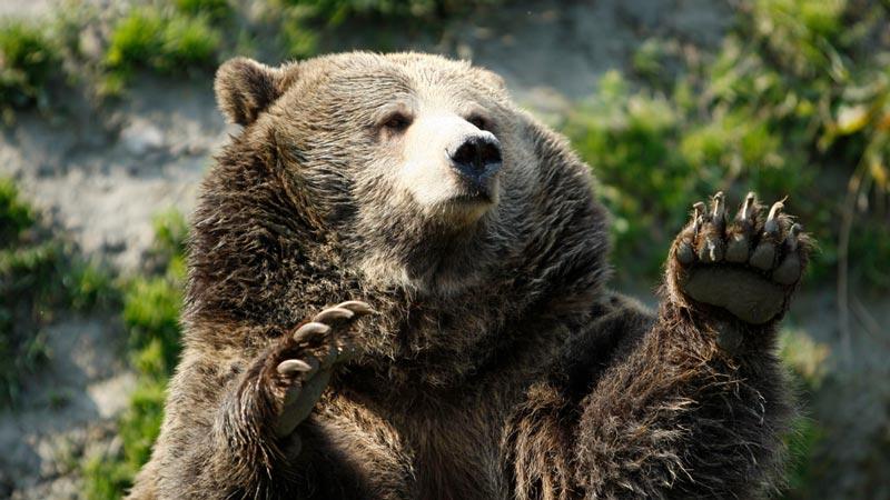 Красивые картинки, фотографии Медведя Гризли - подборка 10