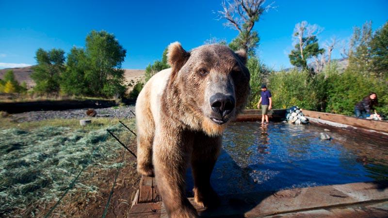 Красивые картинки, фотографии Медведя Гризли - подборка 12