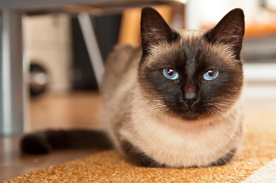 Красивые сиамские котята картинки - подборка изображений 5