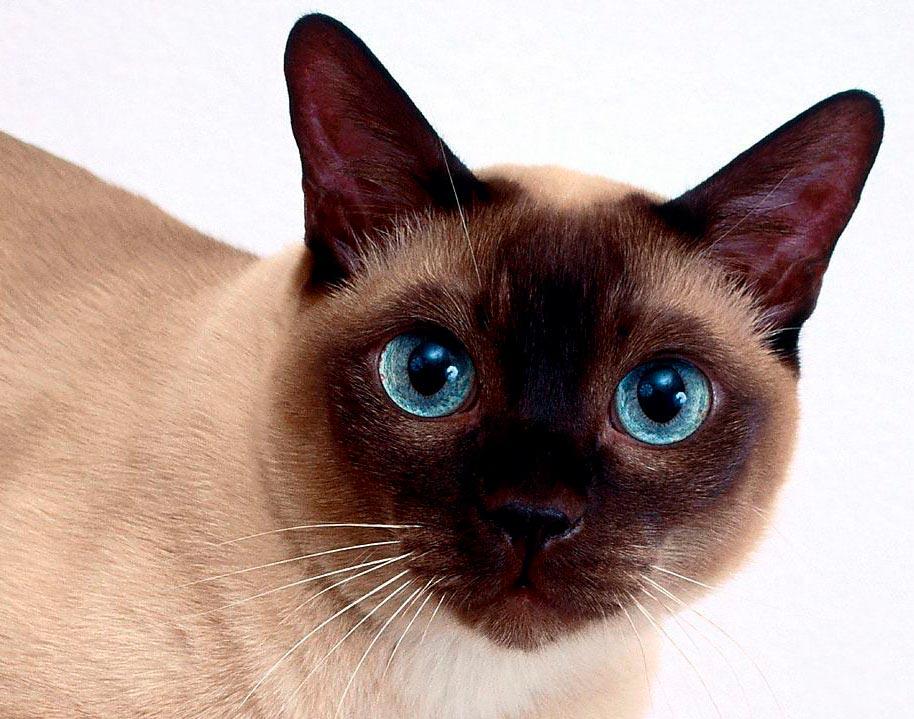 Красивые сиамские котята картинки - подборка изображений 4