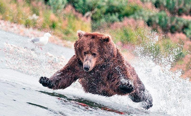 Красивые картинки, фотографии Медведя Гризли - подборка 13