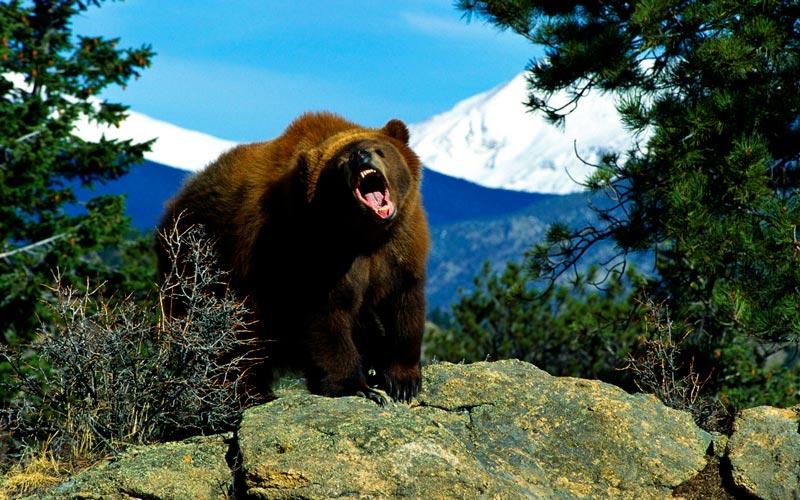 Красивые картинки, фотографии Медведя Гризли - подборка 14