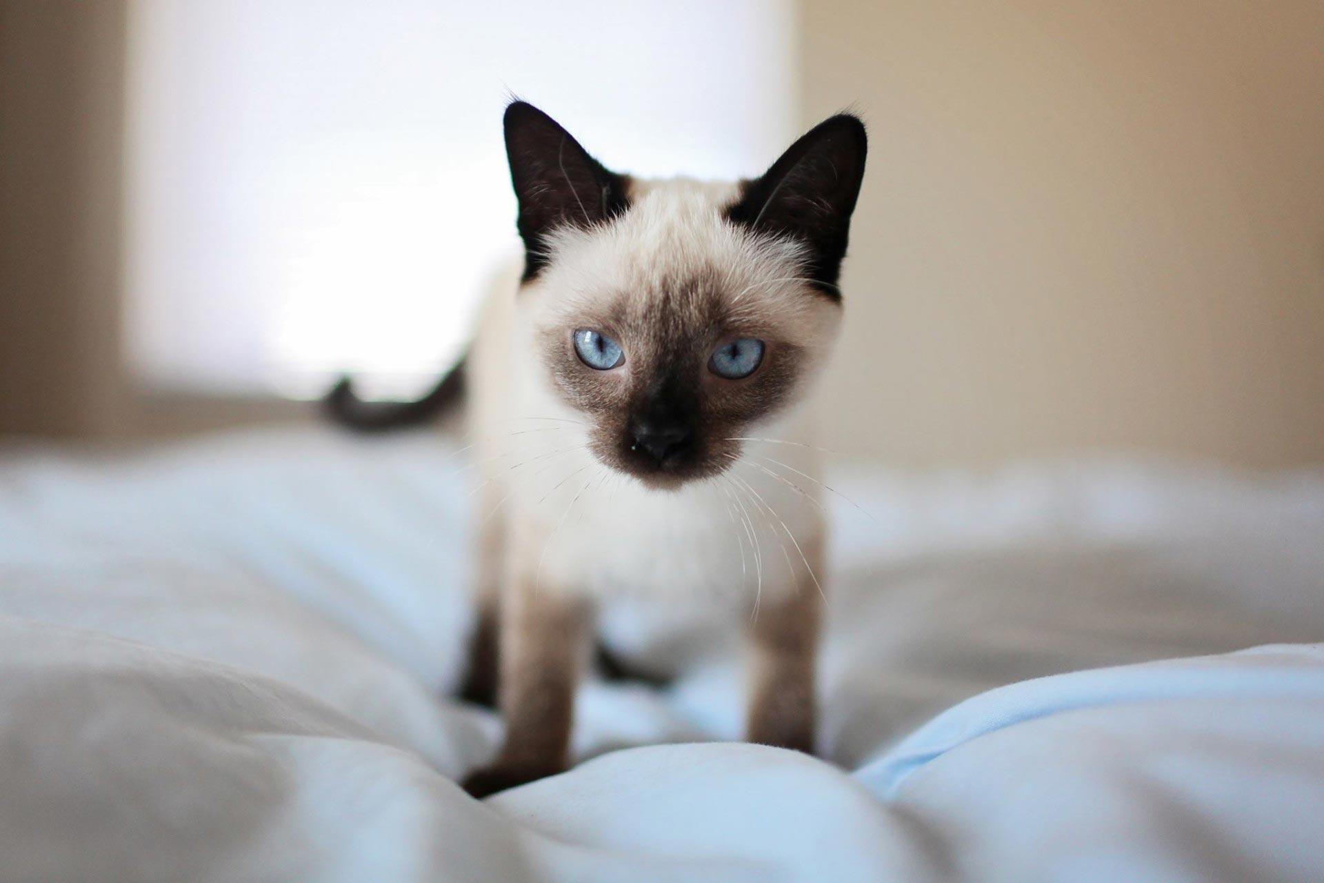 Красивые сиамские котята картинки - подборка изображений 7