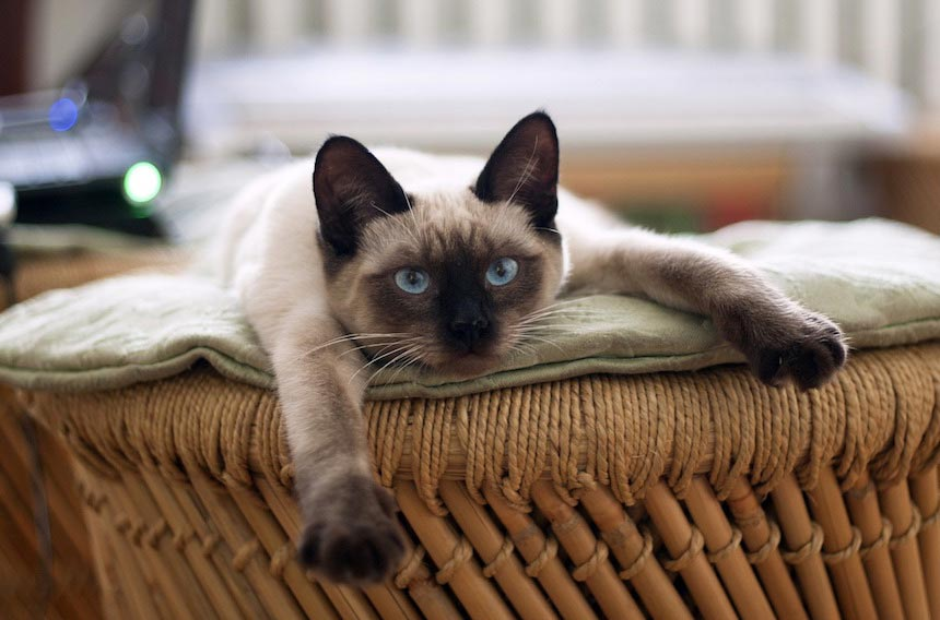 Красивые сиамские котята картинки - подборка изображений 9