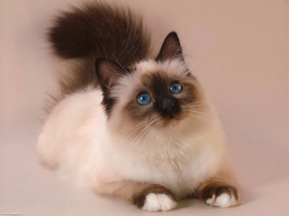 Красивые сиамские котята картинки - подборка изображений 10