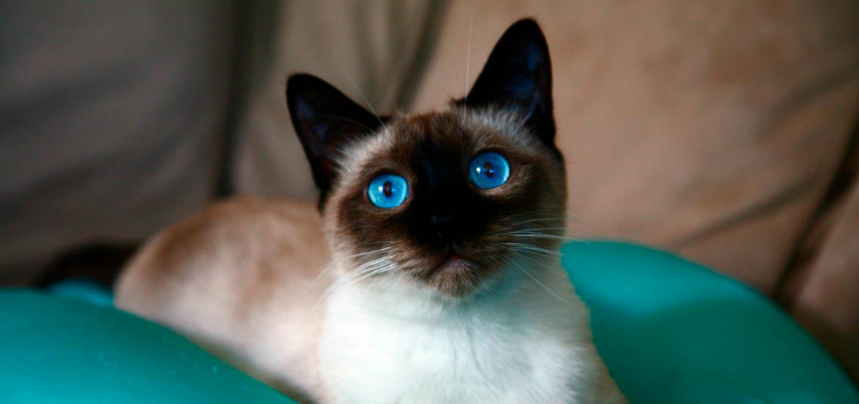 Красивые сиамские котята картинки - подборка изображений 11