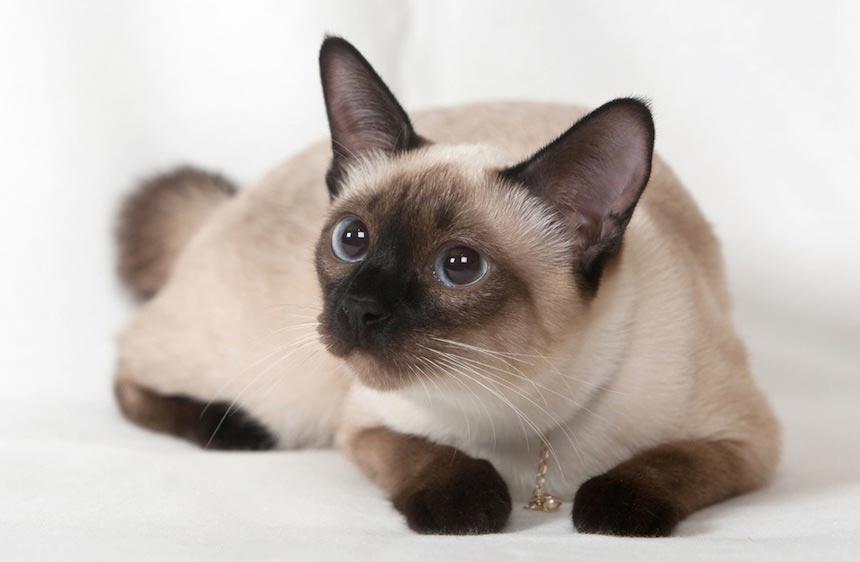 Красивые сиамские котята картинки - подборка изображений 12