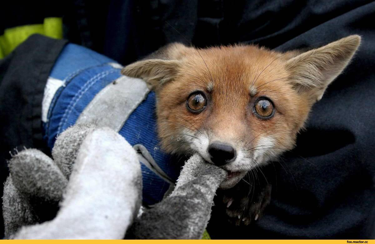 Смешные и веселые картинки лис или про лису - подборка 21