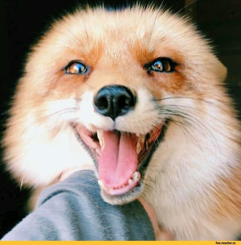 Смешные и веселые картинки лис или про лису - подборка 23