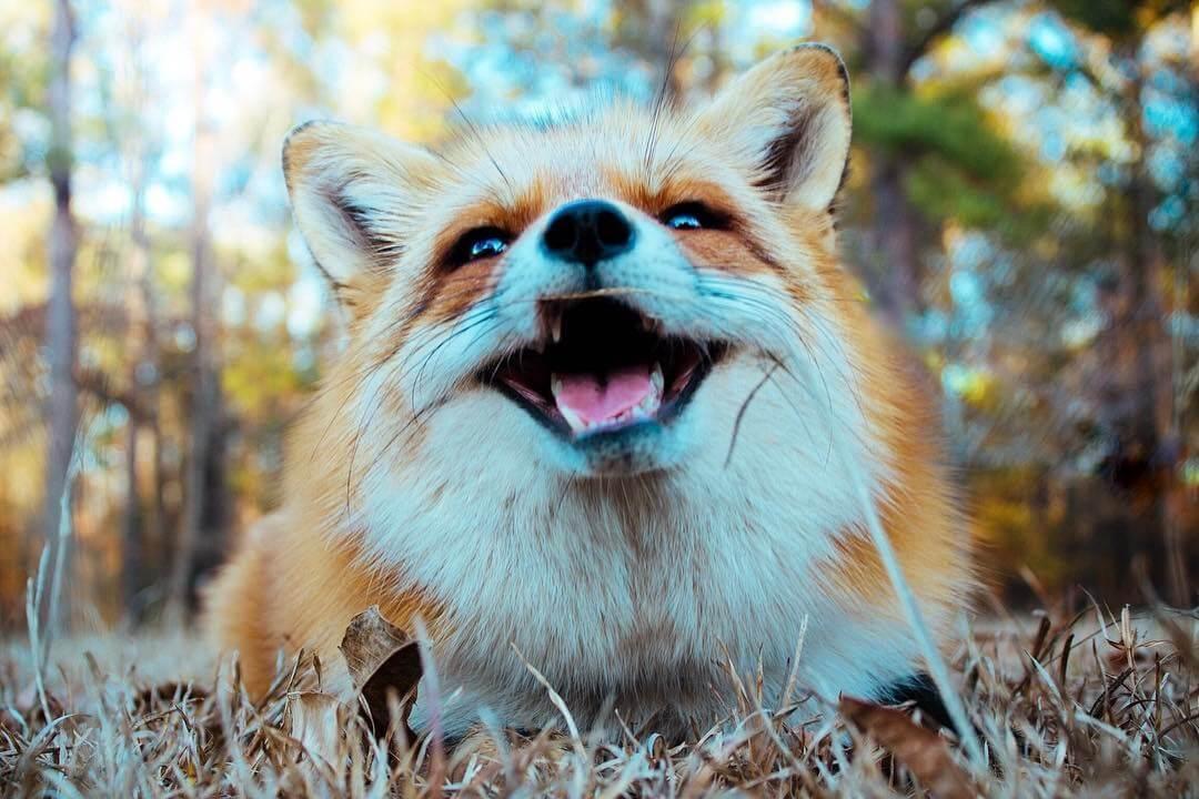 Смешные и веселые картинки лис или про лису - подборка 5