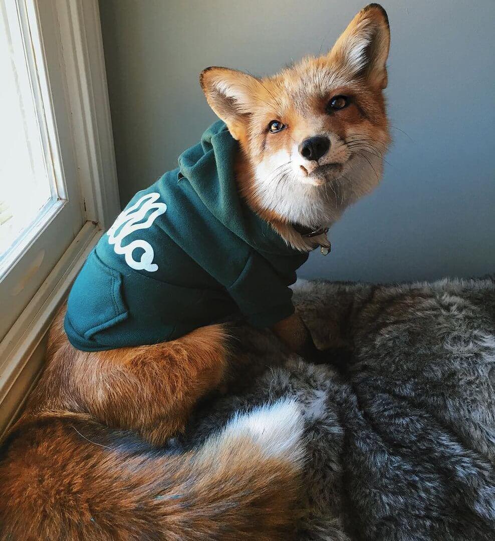 Смешные и веселые картинки лис или про лису - подборка 3
