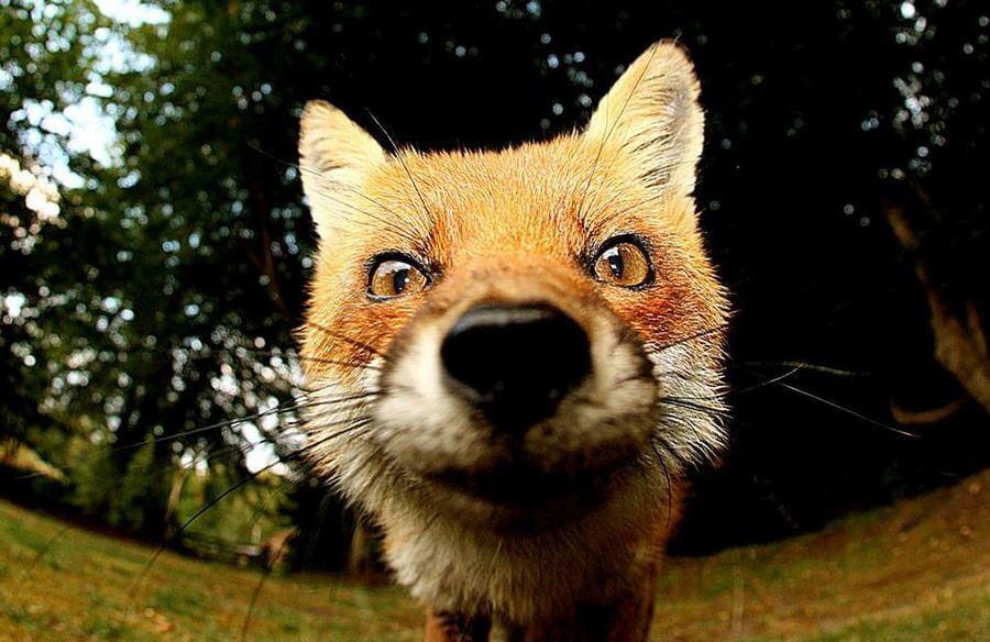 Смешные и веселые картинки лис или про лису - подборка 11