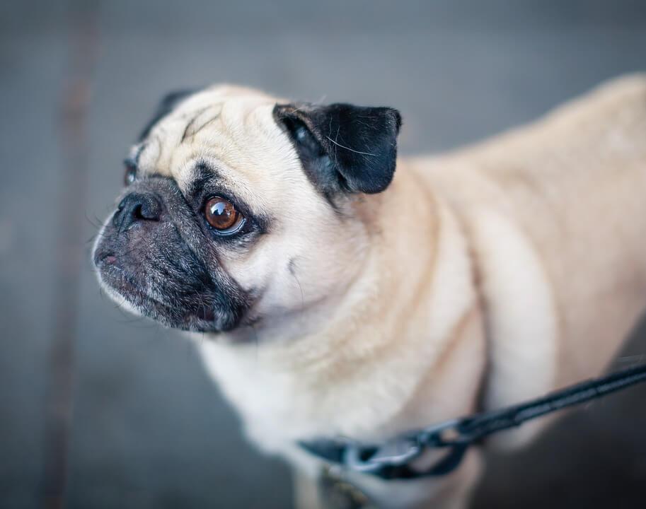 Необычные фотографии собак мопсов - самые классные 1