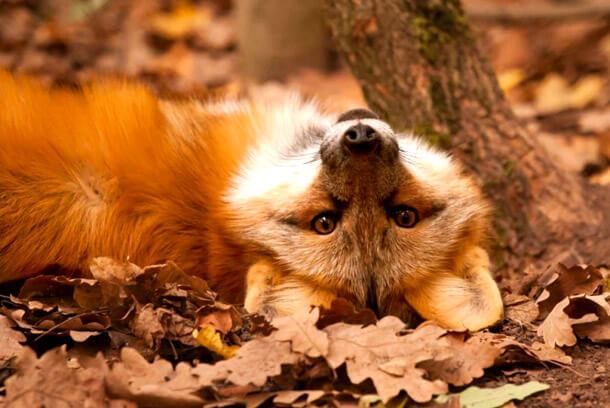 Смешные и веселые картинки лис или про лису - подборка 7