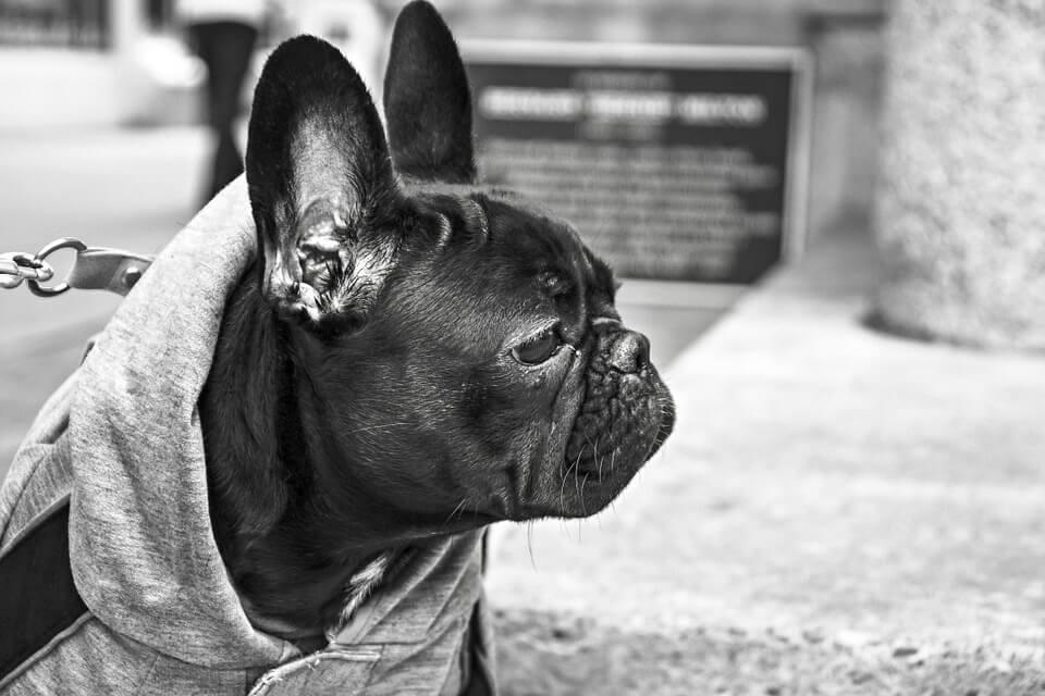 Необычные фотографии собак мопсов - самые классные 2