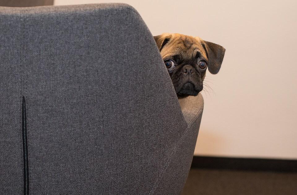 Необычные фотографии собак мопсов - самые классные 4