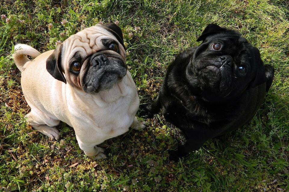 Необычные фотографии собак мопсов - самые классные 5