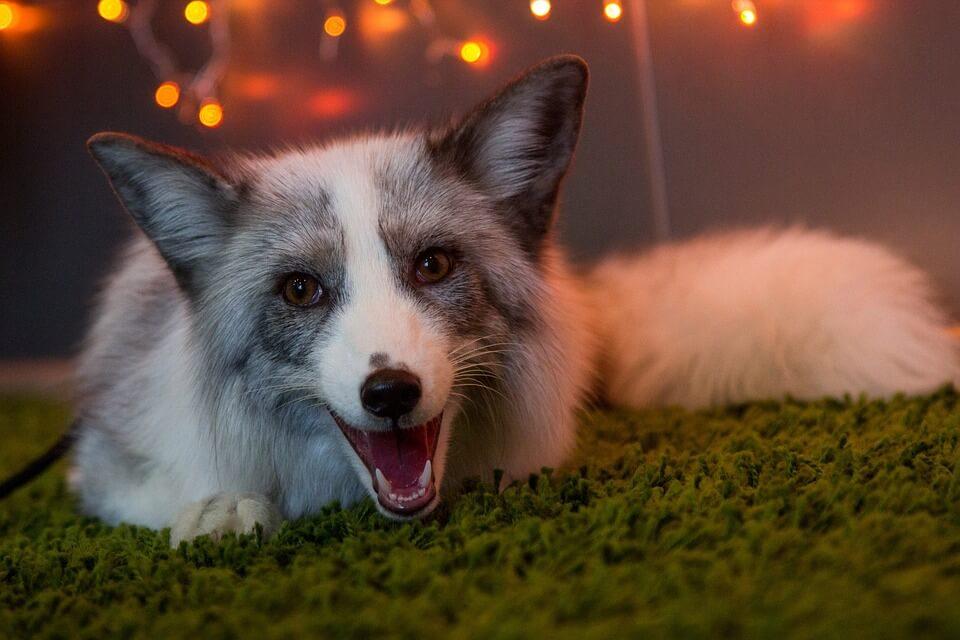 Смешные и веселые картинки лис или про лису - подборка 9