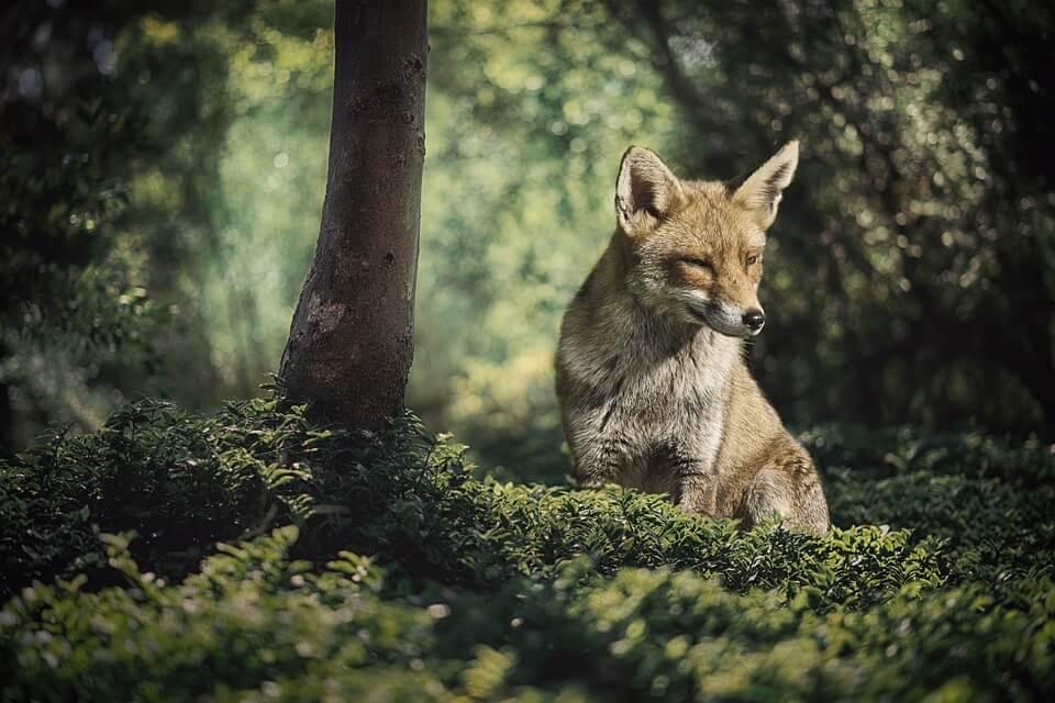Смешные и веселые картинки лис или про лису - подборка 10