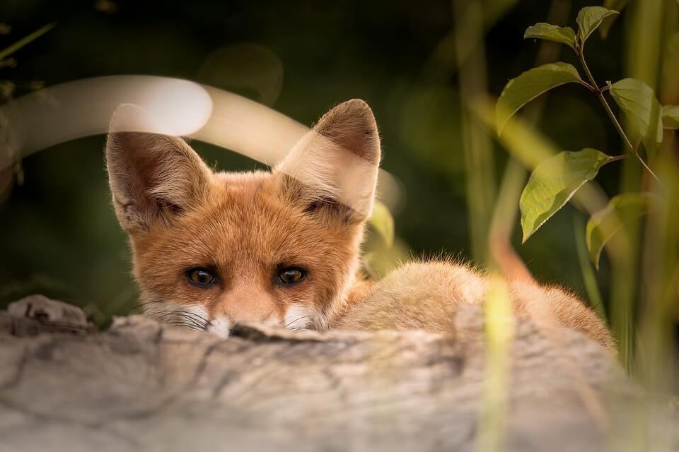 Смешные и веселые картинки лис или про лису - подборка 15