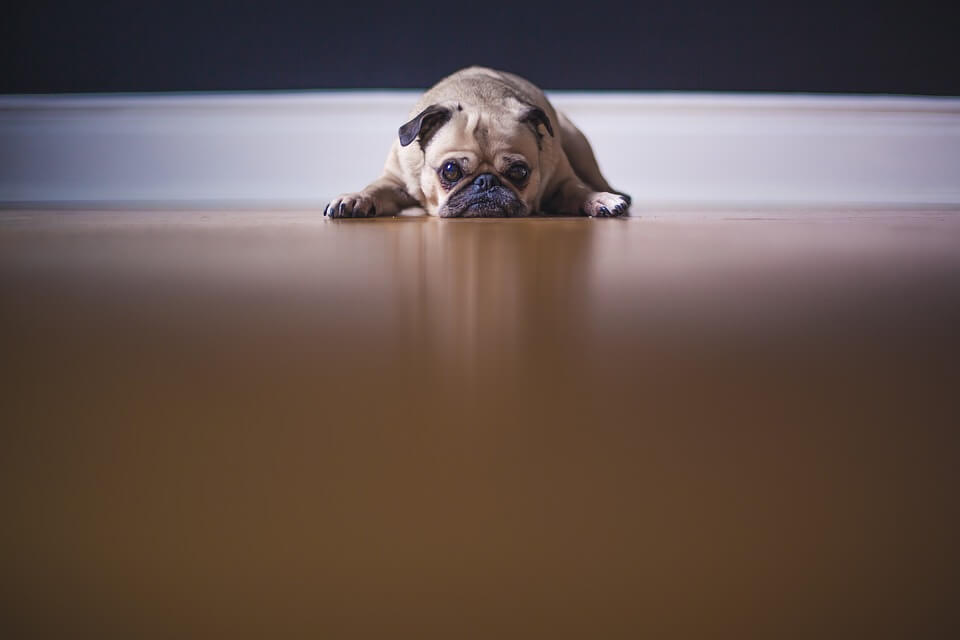 Необычные фотографии собак мопсов - самые классные 11