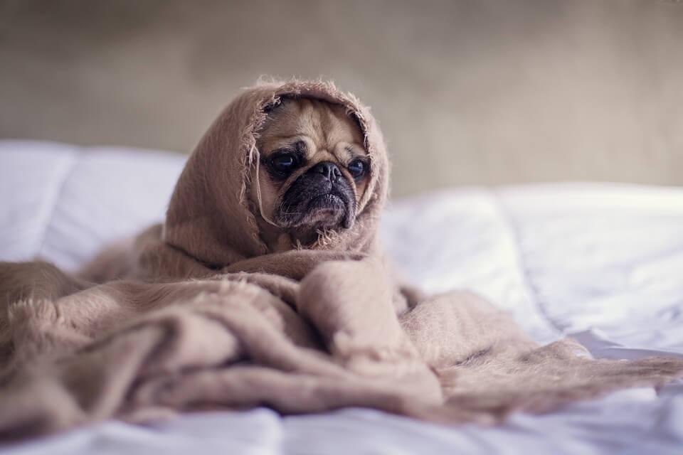 Необычные фотографии собак мопсов - самые классные 13