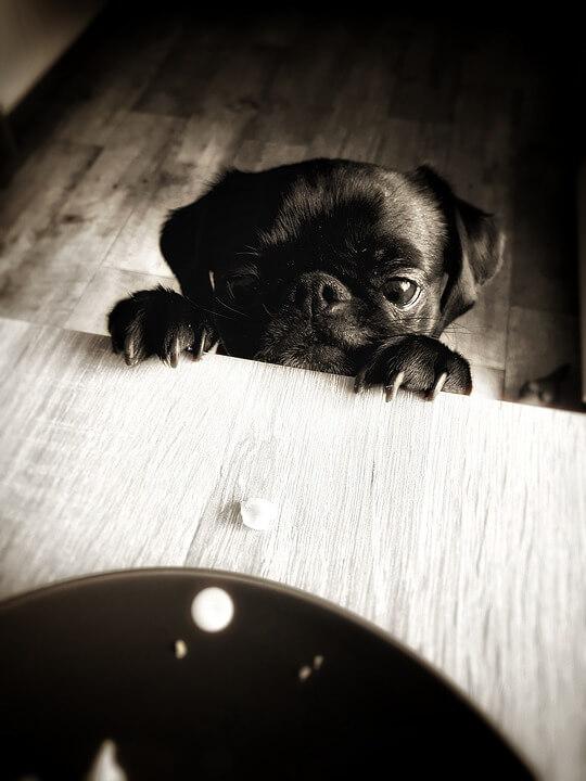 Необычные фотографии собак мопсов - самые классные 15