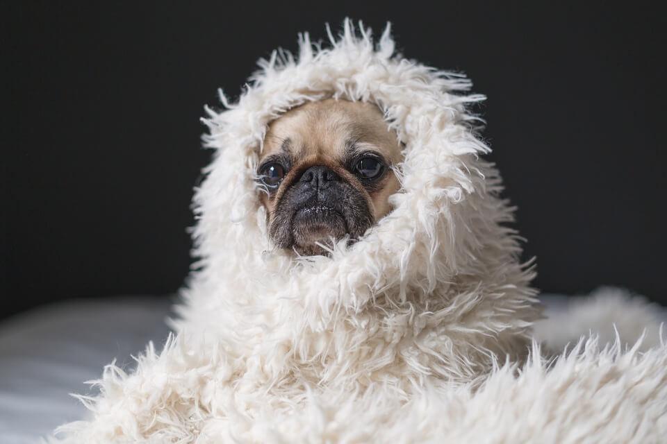 Необычные фотографии собак мопсов - самые классные 16