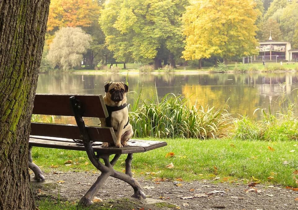 Необычные фотографии собак мопсов - самые классные 19